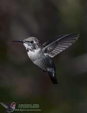 Bee Hummingbird 8