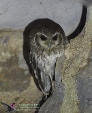 Bare-leggued Owl