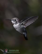 Bee Hummingbird 8