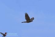 Gundlach's Hawk