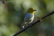 Yellow-headed Warbler