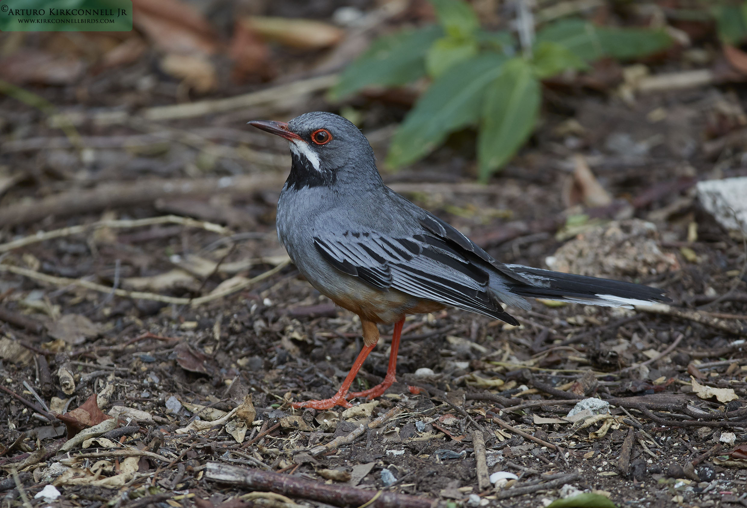 Red-leggued Thrush - Birding in Cuba